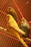 Parrots. Three talking parrots in their cage stock images