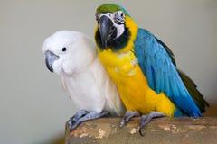 Parrots. A Pair Of Parrots Together Stock Photos