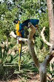 Parrots. Couple of parrots Royalty Free Stock Images