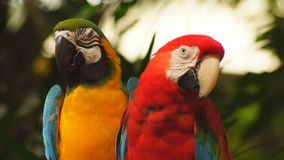 Parrots. Close-up view of two parrots stock video