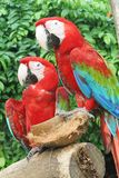 Parrots. Sitting on a tree with a coconut royalty free stock photos