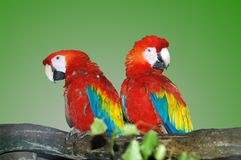 Parrots. Two parrots sit on a tree in a zoo Royalty Free Stock Photo