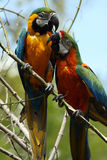 Parrots. Two Macaws perching in tree and playing with each other.  Shallow depth of field with trees in the background Royalty Free Stock Images