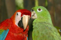Parrots. Red and green parrots Royalty Free Stock Image