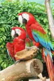 Parrots. Sitting on a tree with a coconut stock photos