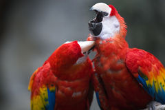 Parrots. A pair of parrots in a zoo groom each other Royalty Free Stock Photography