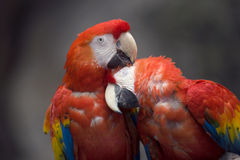 Parrots. A pair of parrots in a zoo groom each other Stock Images