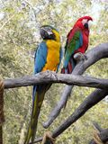Parrots. Two colourful Parrots in a tree Royalty Free Stock Images