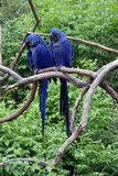 Parrots. Right large tropical parrots sit on a branch and communicate royalty free stock image