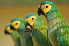 Parrots. Four Parrots Stock Photo