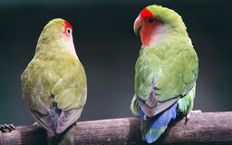 Parrots. Two parrots are talking each other royalty free stock images