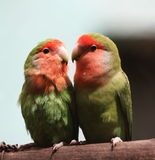 Parrots. Two parrots are falling in love royalty free stock images