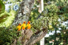 Yellow Parrots in a tree in Phuket Island, Thailand. Parrots, also known as psittacines, are birds of the roughly 372 species in 86 genera that make up the order Stock Image