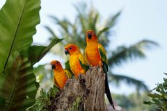 Three Yellow Parrots in a tree in Phuket Island, Thailand. Parrots, also known as psittacines, are birds of the roughly 372 species in 86 genera that make up the Royalty Free Stock Image