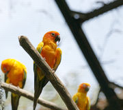 Parrots (Aratinga solstitialis) Royalty Free Stock Image