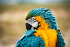Parrots. A beautiful Blue and yellow macaw Parrots royalty free stock photos
