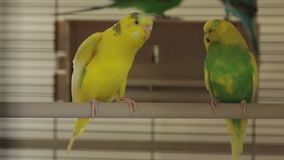 The two parrots cage. The parrots the bird cage stock video