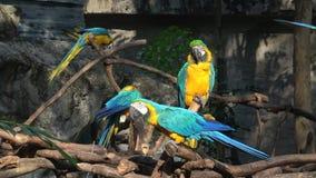 Parrots blue-yellow macaw Ara ararauna. Chiang Mai, Thailand