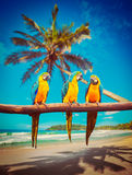 Parrots Blue-and-Yellow Macaw on beach. Tropical vacation concept - three parrots Blue-and-Yellow Macaw Ara ararauna also known as the Blue-and-Gold Macaw on Stock Image