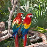 Parrots on a branch Royalty Free Stock Images