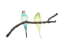 Parrots on a branch Royalty Free Stock Photos