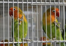 Parrots in cage Stock Images
