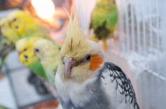 Parrots in a cage royalty free stock image