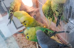 Parrots in a cage royalty free stock images