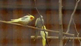 Parrots in a cage play.  stock video footage
