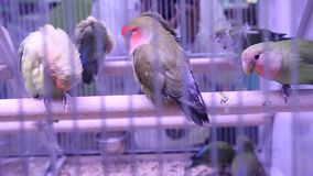 Parrots. In the cage scratching and looking stock video footage