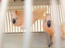 Parrots in the cage Royalty Free Stock Photo