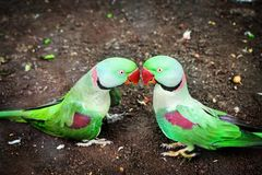 Parrots. Chandigarh zoo kissing love Stock Photos