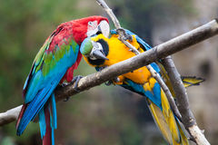 Parrots. Close up shot of parrots portrait Royalty Free Stock Photos