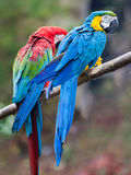 Parrots. Close up shot of two colourful parrots Royalty Free Stock Photography