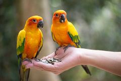 Parrots. Colorful parrots sitting on human hand Stock Photography