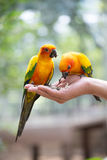 Parrots. Colorful parrots sitting on human hand Royalty Free Stock Photo