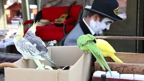 Parrots and comedian. Two pairs of  hat and mice in background stock footage