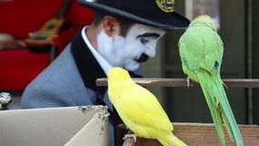 Parrots and comedian. Yellow and green parrots and comedian in background stock video