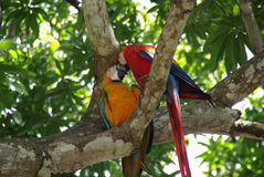 Parrots in Costa Rica Royalty Free Stock Photo
