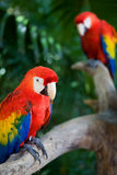 Parrots. Couple of beautiful macaws, on Xcaret, Yucatan, Mexico Royalty Free Stock Photos