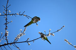 Parrots eating almond blossom. Two green parrots eating almond's flower in a nice day of spring Stock Photography