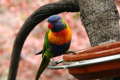 Parrots eating on a branch. Colorful parrot eating on a branch from a large bowl Stock Image