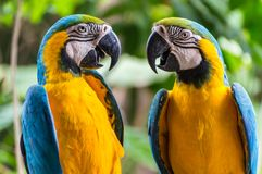 Parrots facing each other royalty free stock photos