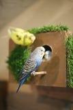 The parrots. Family of the wavy parrots Royalty Free Stock Photo