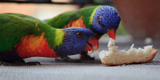 Parrots feed Royalty Free Stock Photo