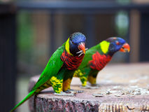 Parrots feeding time Royalty Free Stock Photo