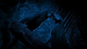 Parrots Fighting With Each Other At Night. Parrots fight on branch in the jungle late at night stock video footage