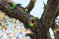 Parrots fighting over nest. On the tree, Sri Lanka royalty free stock photo