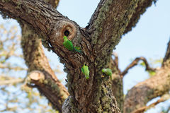 Parrots fighting over nest. On the tree, Sri Lanka stock photo
