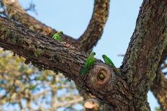 Parrots fighting over nest. On the tree, Sri Lanka royalty free stock photos